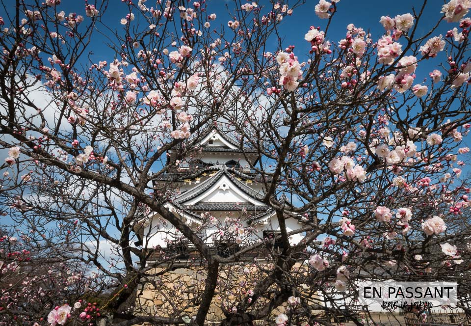 chateau Hikone a travers sakura